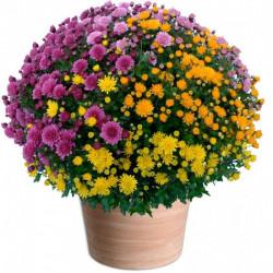 TOUSSAINT FLOWERS CHRYSANTHEM MULTICOLOR