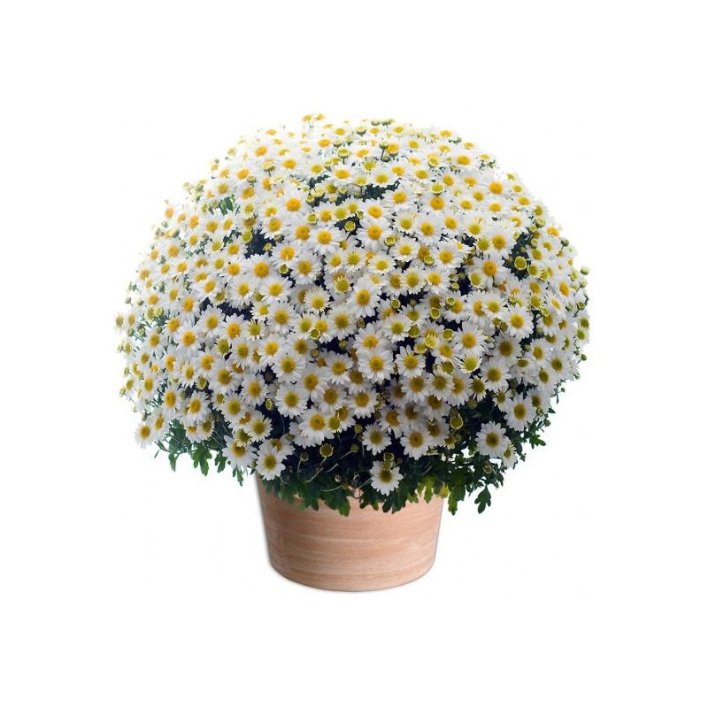 TOUSSAINT FLOWERS CHRYSANTHEM WHITE