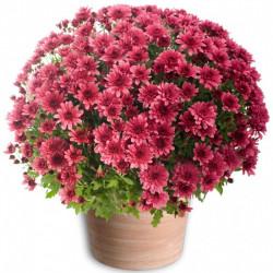 TOUSSAINT FLOWERS CHRYSANTHEM PINK